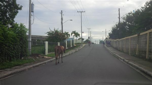 Denuncian Animales Deambulan En Calles De Consuelo
