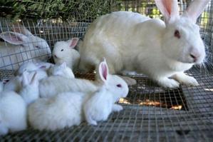 Incluirán La Carne De Conejo En El Menú Del Almuerzo Escolar